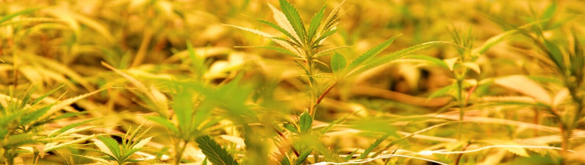 CBD naturel sans conservateurs